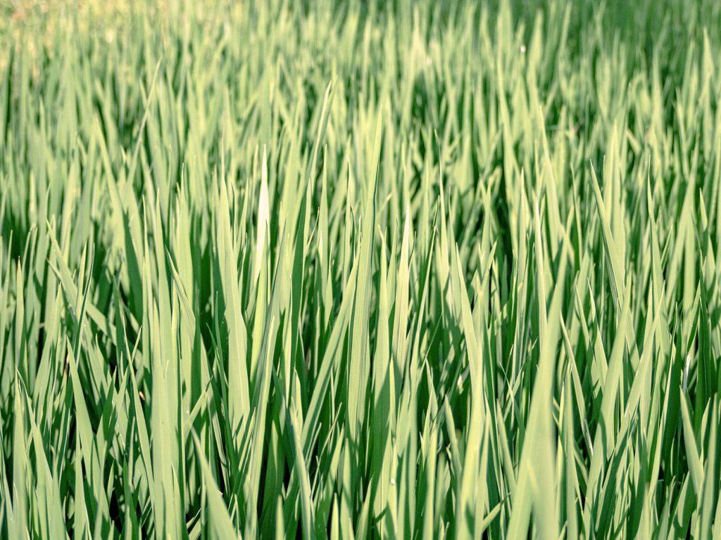 Tegallalang-Rice-TeracceBali-_TravelsAndScuba_12