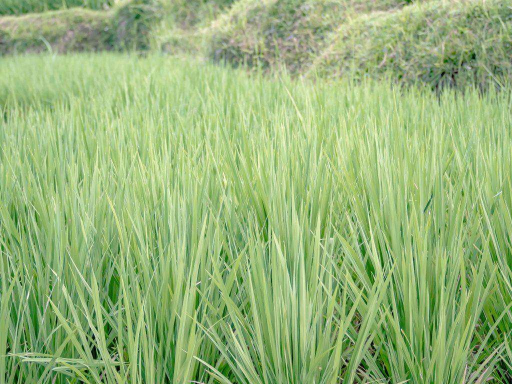 Tegallalang-Rice-TeracceBali-_TravelsAndScuba_18