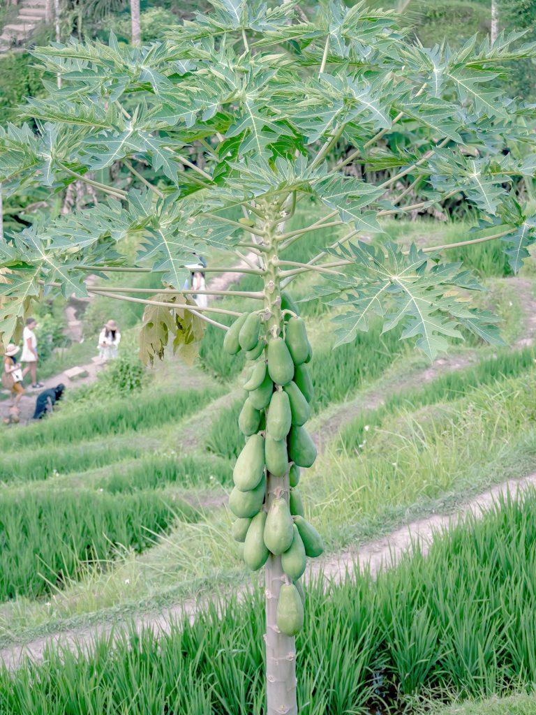 Tegallalang-Rice-TeracceBali-_TravelsAndScuba_19